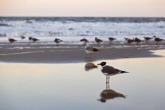 Waiting for the Tide (matthewkaz) Tags: bird gull seagull birds gulls seagulls water ocean atlanticocean reflection reflections waves beach sand coast coastline shore shoreline myrtlebeach sc southcarolina 2017