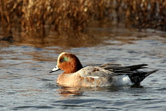 Wigeon-7D2_0598-001 (cherrytree54) Tags: wigeon canon sigma 7d 150600 rye harbour east sussex