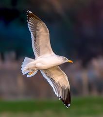 Rainham 12.12.18 Lesser Black backed gull