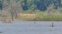 Tawny Eagle (Mike Prince) Tags: accipitridae aquilarapax aves birds india karnataka kiteshawksandeagles madhurekere tawnyeagle birdsofprey raptors