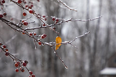Hangin' On (Matt Champlin) Tags: winter cold snow snowy life red leaf leaves hangingon nature outdoors landscape peaceful 2018 canon berries apples home 2019