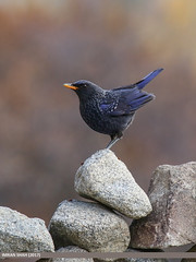 Blue Whistling Thrush (Myophonus caeruleus) (gilgit2) Tags: avifauna birds bluewhistlingthrushmyophonuscaeruleus borit canon canoneos7dmarkii category fauna feathers geotagged gilgitbaltistan gojal imranshah location pakistan species tags tamron tamronsp150600mmf563divcusd wildlife wings gilgit2 myophonuscaeruleus