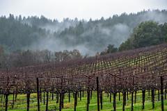 Rain on Vines (lennycarl08) Tags: vineyards vineyard winecountry sonomacounty