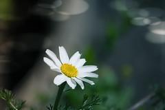 A white flower (Roland B43) Tags: flower white macro bokeh natureinfocusgroup