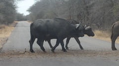 Buffalo Herd crossing the Road (Rckr88) Tags: buffalo herd crossing road buffaloherdcrossingtheroad roads buffaloes buffalos animals animal nature naturalworld outdoors wildlife krugernationalpark southafrica kruger national park south africa