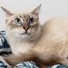 Blue eyed cat on rug