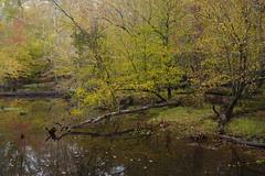 Golden pond (baro-nite) Tags: fallcolor centralnorthcarolina carpinus sourwood sycamore beech lirodendron trees enoriver pentax pixelshift smcpentax11855mm iridientdeveloper
