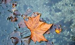 The end (Raffa2112) Tags: autunno foglie foglia acqua autumn leaf leaves water raffa2112 canoneos750d