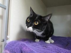 Kichi - 2 year old spayed female