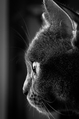 The sunrise in her eyes (WhiteShipDesign) Tags: britishshorthair british shorthair cat animal domestic cute feline pet eyes fur looking beautiful furry young tabby fluffy portrait one staring nose face light breed whisker kitty watching closeup curious isolated pets head single purebred pedigree expression sunrise blackandwhite black white contrast sharp clear
