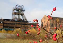 Chatterley Whitfield 06 nov 18 (Shaun the grime lover) Tags: autumn berries derelict industrial coal mine colliery staffordshire chell tunstall chatterleywhitfield pit headstock headgear