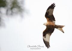 Red kite soaring high above marlow, UK (charlottejarvis@live.co.uk) Tags: birdsofprey birdofprey redkite uk bucks marlow