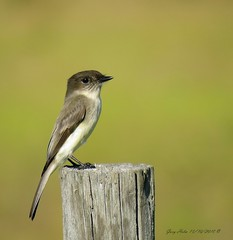 Eastern Phoebe (Gary Helm) Tags: wood bird birds nature wildlife outside outdoor photograph image canon sx60hs powershop usa phoebe post joeoverstreetroad ghelm4747 garyhelm camera perch floridawildlife pasture osceolacounty florida migratory