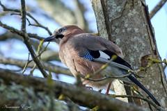Geai des chênes - Garrulus glandarius (Ezzo33) Tags: geaideschênes garrulusglandarius france gironde nouvelleaquitaine bordeaux ezzo33 nammour ezzat sony rx10m3 parc jardin oiseau oiseaux bird birds specanimal