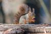 Hoernchen-2018-3212.jpg (Joachim Dobler) Tags: eichhörnchen eichhoernchen squirrel écureuil ardilla scoiattolo esquilo nature natur nagetier esquito wildlife animal cute naturephotography squirrellove wildlifephotography bestsquirrel nutsaboutsquirrels cuteanimals