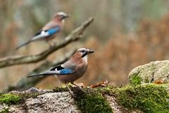 _DSC6069-Redigera (beskowbild) Tags: rovfågel blekinge nötskrika