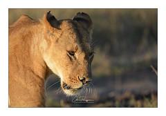 Lionne Narok Masai Mara (Claire PARMEGGIANI Photos) Tags: africa africangallery africanlife africanwildlife bigfive eastafrica gamedrive kenya lions safari wildlife bigcats wildafrica
