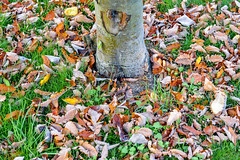 Fallen Leaves (Jonatan Svensson Glad (Josve05a)) Tags: natural outdoors brown fall color season park outdoor tree leaf leaves grass wood yellow scene colour orange vibrant outside autumn sweden nobody nature september tyresö stockholmslän sverige se