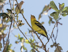 Western Tanager (ruthpphoto) Tags: bird animal westerntanager
