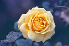 Last rose (richard.kralicek.wien) Tags: flowers
