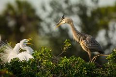 Territorial dispute (ChicagoBob46) Tags: greatblueheron greategret heron egret bird veniceareaaudubonrookery rookery florida nature wildlife ngc naturethroughthelens coth5 npc