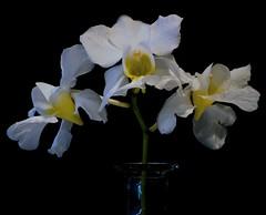 Vanda Diana (ACEZandEIGHTZ) Tags: orchid black background nikon d3200 flowers macro vase white terete diana vanda shadows closeup coth coth5 sunrays5