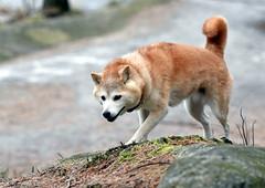 Little My, the hunter? (Terje Håheim (thaheim)) Tags: dog hund pet shiba shibainu nikon nikond500 d500 70200mmf28gvr