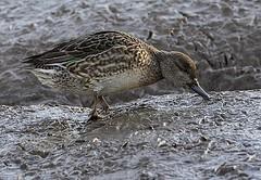 Eurasian Teal (Calidrus) Tags: birds birdwatching birding ornithology wildlife nature wildfowl duck rspb titchwell norfolk teal
