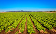 Field Of Lettuce (http://fineartamerica.com/profiles/robert-bales.ht) Tags: arizona farming forupload haybales landscape people photo places projects scenic somerton states winterlettuce sunrise yellow farm crop truckfarm lettuce agriculture farmphotography yuma imperialvalley southwest arizonaphotography panoramic sensational spectacular awesome magnificent peaceful inspirational robertbales sceniclandscapephotography green greetingcards farmlandscape rill iphone vegetable romaine head sonoradesert welton bunch