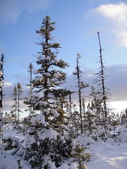 Trees on Bog (Orion 2) Tags: newfoundlandandlabrador winter cold snow north landscape desolate peatbog magical snowshoeing snowshoes bog trees stunted stream moose fox snowshoehare wildlifetracks rediscoverthisday black spruce wilderness backcountry