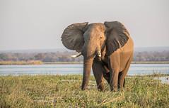 Enjoying the sun (Tris Enticknap) Tags: africanelephant zambia elephant lowerzambezi africa loxodontaafricana