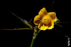 Good morning... (N.Batkhurel) Tags: season summer flower flora mongolia macro morning dew closeup ngc nikon nikond5200 natur nikkor 105mm