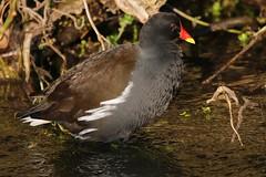 Moorhen 040119 (Richard Collier - Wildlife and Travel Photography) Tags: birds british britishbirds wildlife naturalhistory nature moorhen naturethroughthelens