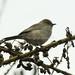 Brown Parisoma ( Warbler ) - Nairobi NP - Kenya CD5A9576