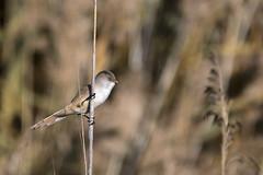 Panurus biarmicus (Francesc //*//) Tags: panurusbiarmicus mallerengadebigotis mallerengadecanyar xau xauet utxesa natura naturaleza nature animal au ave bird pájaro ocell oiseau