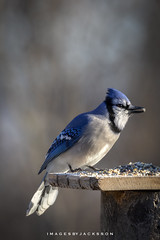 Blue Jay 2019 (John Hoadley) Tags: bluejay bird niagarafalls ontario january canon 7dmarkii 100400ii f56 iso640 2019
