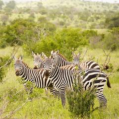 Harem (igor29768) Tags: zebra harem herd tsavo kenya africa panasonic lumix 100300mm