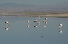2017-11-09_0729_DSC_0668a (becklectic) Tags: 2017 atacamadesert atacamasaltflat birds chile flamingoes lagunachaxa lake piedrasrojastour regióndeantofagasta reservanacionallosflamencos salardeatacama sanpedrodeatacama flamingo flamingos
