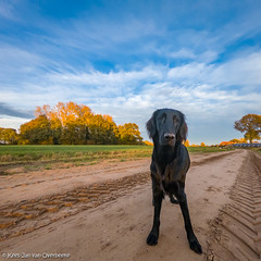 GOPR2769_20181106_163008 (KJvO) Tags: dog flatcoatedretriever hond pipa puppy questionsflightoneinamillion sunset zonsondergang animal blackdogsrule dier dogadventures flatcoataddiction flatcoatedlovers flatcoatedretrieversofinstagram flattiemoments flattieoftheday freestyleretrievers instadogs retrieversofinsta