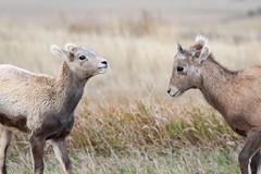 Play Pals ((JAndersen)) Tags: badlands badlandsnationalpark bighornsheep nikon wildlife animals southdakota usa nikkor20005000mmf56 nature d810