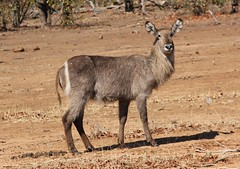 Waterbuck / Waterbok (Pixi2011) Tags: antelope wildlife krugernationalpark southafrica africa nature