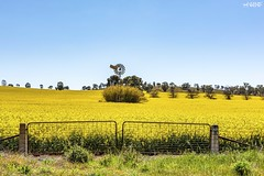 No 2635 (red stilletto) Tags: northeastvictoria dookie canola spring farm farms fence fences windmill