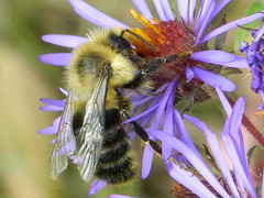 Bumble Bee (dieter1.freier1) Tags: bee bumble fuzzy yellow flower bug insect stinger nectar summer meadow hardatwork
