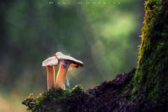 Encantadas (www.studio360fotografia.es) Tags: setas zeissikontalon85mm28 valdeinfierno mushroom omd em10 proyector projector bokeh desenfoque colores colors nature naturaleza musgo moss fantasy fantasia humo smoke