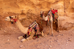 Smiling Camels in Petra (Jill Clardy) Tags: asia jordan middleeast roadscholar petra archaeological park camels colorful smile smiling sandstone ride saddle transportation 201810289l8a2284 camel dromedary one hump animal mammal explore explored