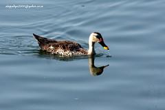 IMG_2854Spot-billed Duck (Anas poecilorhyncha) (vlupadya) Tags: greatnature animal bird aves fauna indianbirds spotbilled duck anas jamnagar gujarath