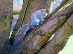 squirrel 12-12-2018 (gallftree008) Tags: squirrel swans swan santry dublin dub dublincity park wildlife wild bird codublin county co eireann eire fingal ireland irish irishwildlife nature naturesbeauties naturescreations reflection reflected reflective reflections tree trees underthetrees water amazingnature chestnut branch branches 12122018 december
