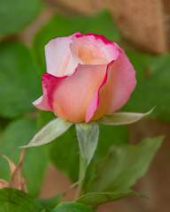 Red Rose in Bloom (Merrillie) Tags: rose natural bud soft pink nature flower flora garden australia bloom newsouthwales petals homegrown