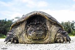 A rare photo of a Florida snapping turtle out in the open on Beach Road, near NASA's Kennedy Space Center. Original from NASA. Digitally enhanced by rawpixel. (Free Public Domain Illustrations by rawpixel) Tags: animal beachroad climatechange commonsnappingturtle environment environmentalconservation florida forest geography globalwarming jungle kennedyspacecenter name nasa nature pdnasa photography publicdomain turtle wild wildlife