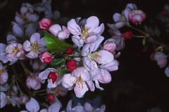 IMG_0026d18u Apfelblüte (wdeck) Tags: apfelblüte canon9000f fujichrome diascan minoltadynax9 sigma tiff